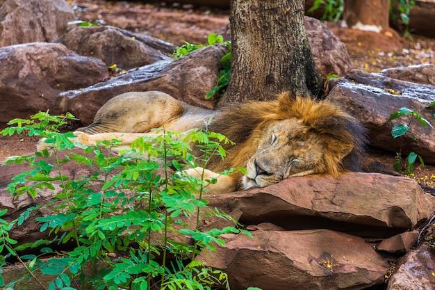 Leone che riposa e dorme vicino ad un albero
