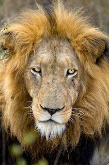 Testa di leone - panthera leo allo stato brado