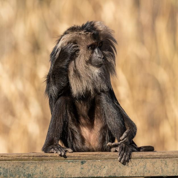 Macaco dalla coda di leone seduto su una tavola di graffiare la testa, animale da zoo