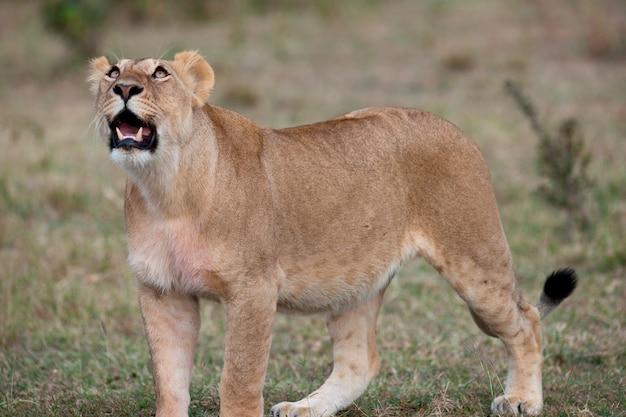 Fauna selvatica del leone in kenya