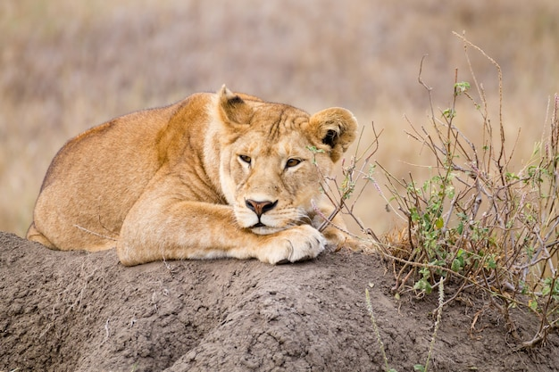 Leonessa da vicino. parco nazionale del serengeti, tanzania. fauna africana
