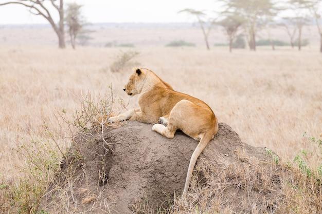 Leonessa vicino parco nazionale del serengeti, tanzania