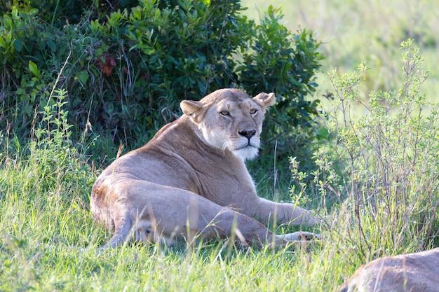 Una leonessa si è messa a suo agio nell'erba e sta riposando
