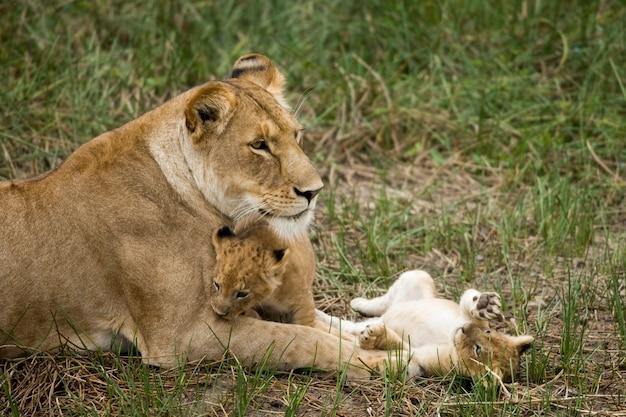 Leonessa e suoi cuccioli nel serengeti, tanzania, africa