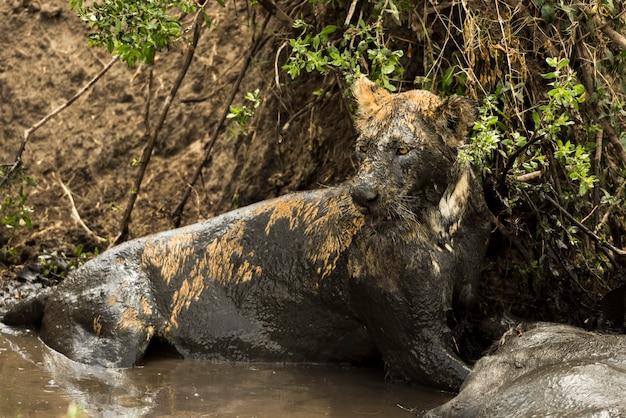 Leonessa che giace accanto alla sua preda in un fiume fangoso, serengeti, tanzania, africa