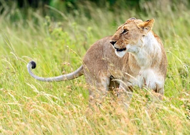 Leonessa che cammina con i suoi cinque cuccioli attraverso il masai mara del kenya