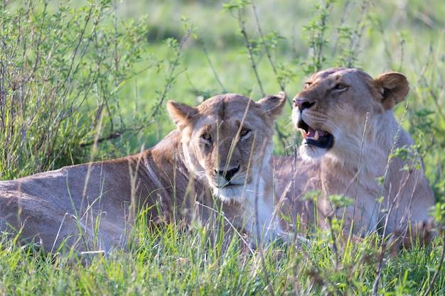 Le leonesse si sdraiano sull'erba e cercano di riposare