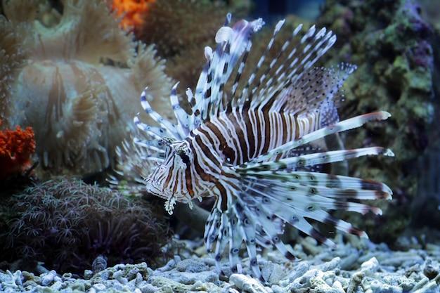 Leone sulle barriere coralline