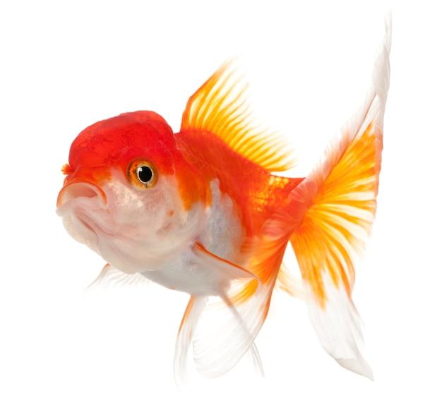 Caratusus auratus del pesce rosso di lionhead davanti a fondo bianco