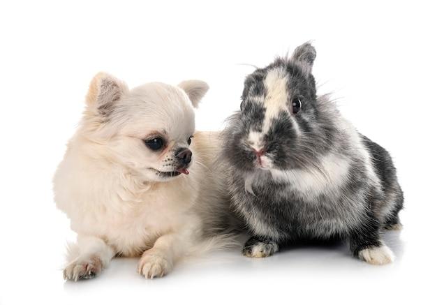 Coniglio lionhead e chihuahua davanti a sfondo bianco