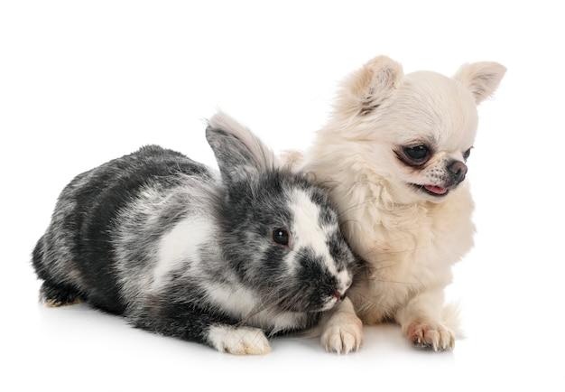 Coniglio lionhead e chihuahua davanti a uno spazio bianco