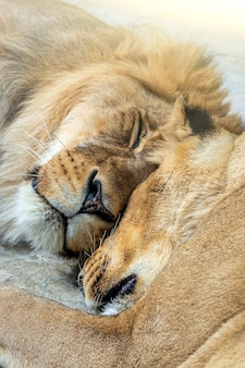 Coppia di leoni (maschio e femmina) che dormono insieme nel parco nazionale, nella riserva naturale o nello zoo da vicino