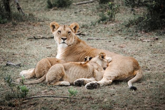 La famiglia lions era composta da madre e figli nel masai mara, in africa