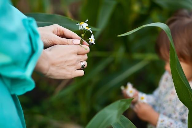 La piccola figlia della neonata dà alla madre una camomilla del fiore.