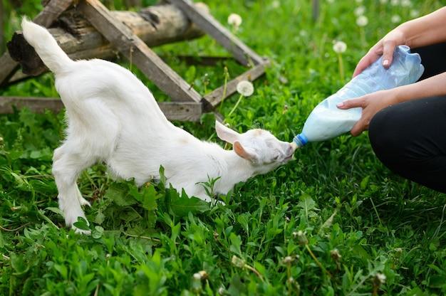 Piccola capra beve latte in bottiglia