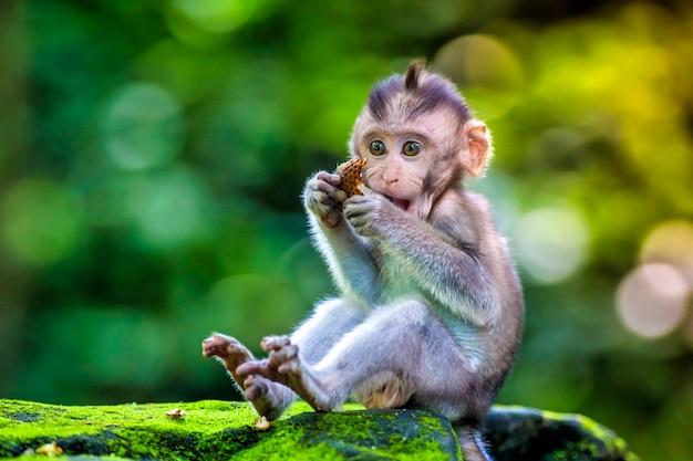 Piccolo bambino-scimmia nella foresta delle scimmie di ubud, bali, indonesia
