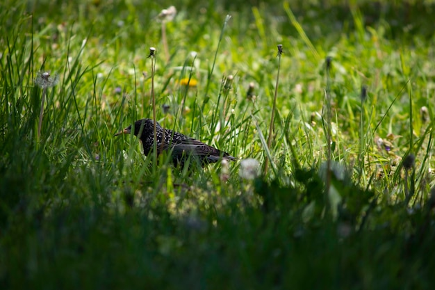 Uccellino nero che cammina nell'erba verde in estate