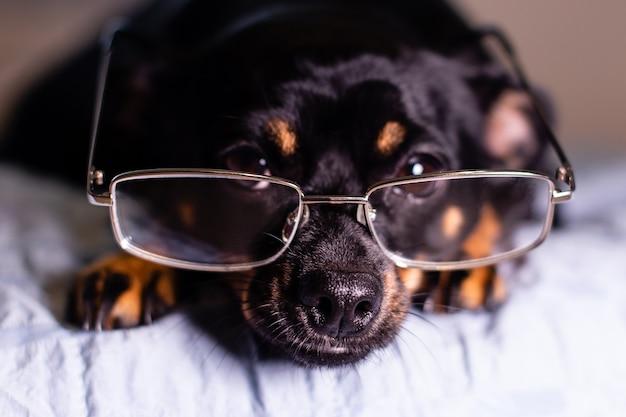 Piccolo cane nero e divertente con gli occhiali