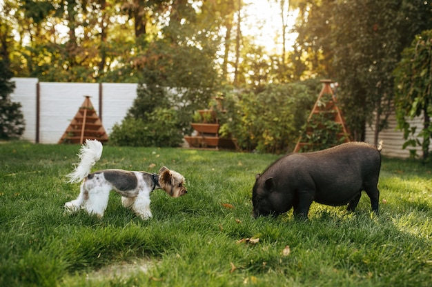 Piccolo maiale nero e cane che camminano sull'erba in giardino. piggy e cucciolo sul prato sul cortile, amici divertenti. concetto di zootecnia, animali domestici all'aperto