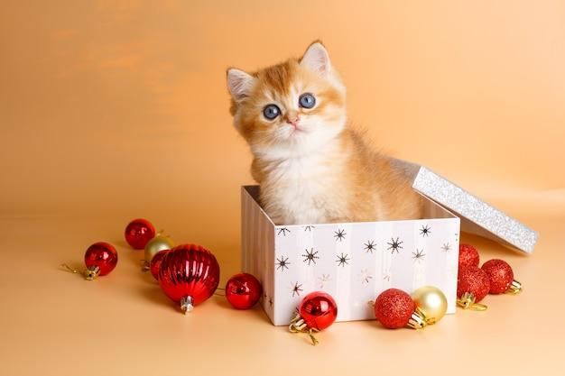 Piccolo gattino dorato britannico del cincillà che si siede in una scatola di natale