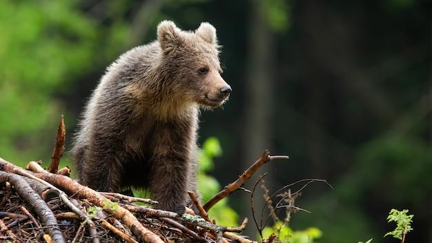Piccolo cucciolo di orso bruno in piedi sui bastoni nella foresta di estate