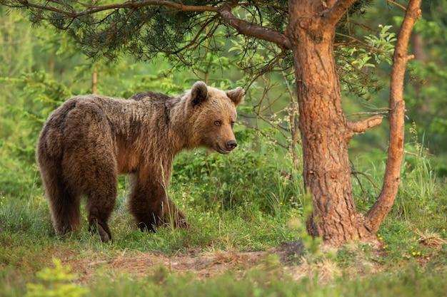 Piccolo orso bruno che si muove nel bosco in natura estiva