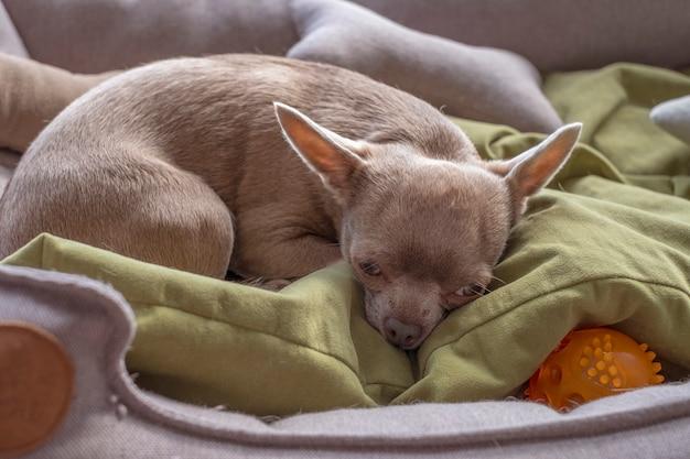 Il piccolo cane marrone della chihuahua giace sconvolto dalla solitudine.