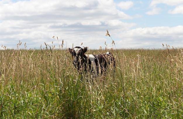 Piccola mucca del vitello che cammina in un prato con erba verde mentre pascola