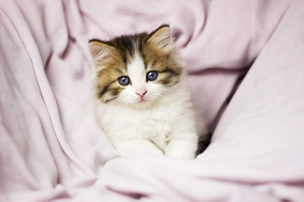 Piccolo gatto che gioca nel letto. gattino lanuginoso allegro divertente in un letto tenero, primo piano. animale domestico