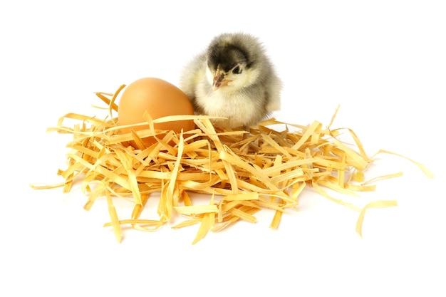 Piccolo pulcino isolato. il pulcino si siede su un nido fatto in casa accanto all'uovo.