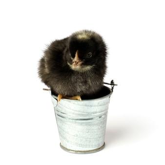 Piccolo pollo in un secchio isolato