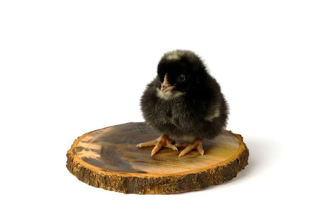 Piccolo pollo sulla lavagna isolato su bianco.
