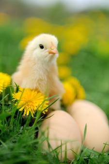 Pollo e uovo sull'erba