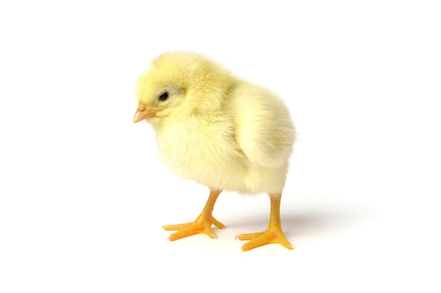 Piccolo pollo isolato su bianco