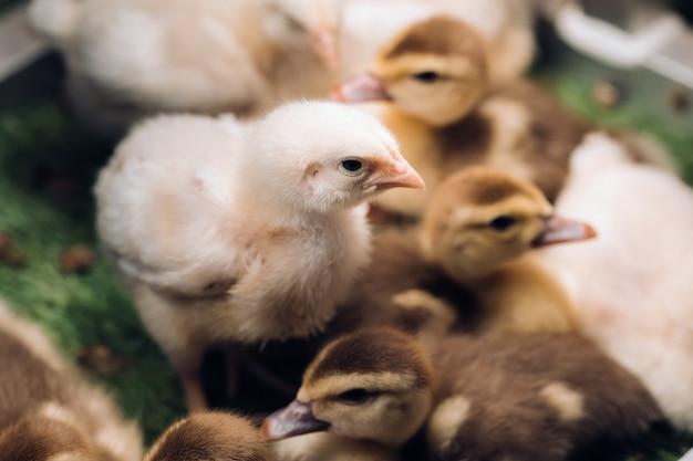Piccoli polli e anatroccoli si crogiolano al sole sull'erba