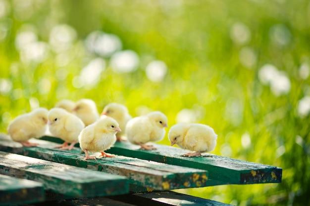 Piccoli polli e uova sul tavolo di legno. copia spazio