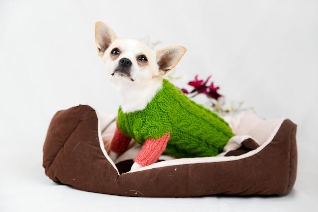 Piccolo cane chihuahua a letto