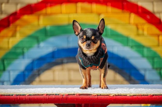 Piccolo chihuahua nel parco. pet in vestiti. maglione chihuahua dog black dog street. cane da neve