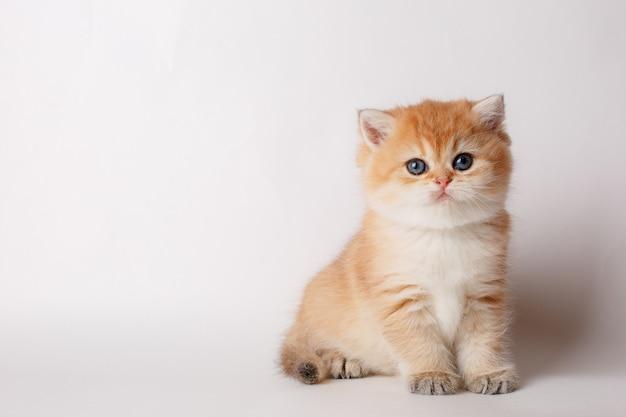 Piccolo gattino britannico sveglio del chincilla