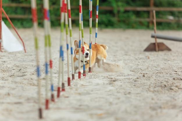Piccolo simpatico cane corgi che si esibisce durante lo spettacolo in competizione. sport per animali domestici. addestramento di animali giovani prima dell'esecuzione. sembra felice e deciso.