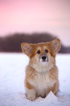 Piccolo grazioso cucciolo di corgi soffice al ritratto ravvicinato all'aperto in una giornata invernale all'ora del tramonto