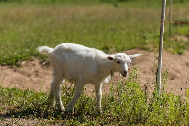 Piccola capra carina che gioca nella natura in estate
