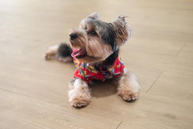Piccolo cucciolo di cane sveglio dell'yorkshire terrier sul pavimento di legno con il vestito per il tema di estate
