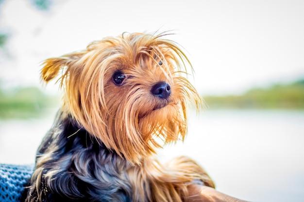 Piccolo cane di razza yorkshire terrier nel finestrino dell'auto_
