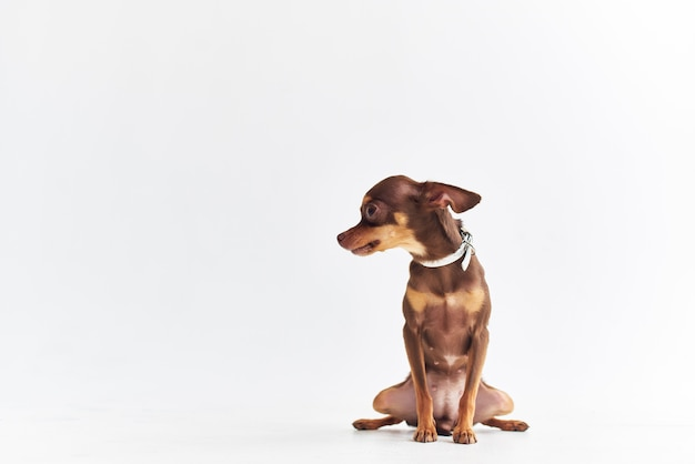 Piccoli mammiferi di cane amico di sfondo umano isolato