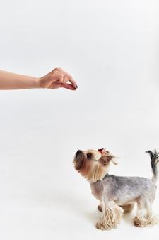Piccolo cane mammiferi amico di sfondo chiaro umano. foto di alta qualità