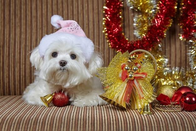 Piccolo cane in un cappello da babbo natale. servizio fotografico di cagnolino maltese con decorazioni natalizie.