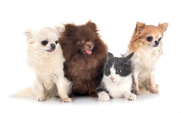 Piccoli cani e gatto isolati su bianco