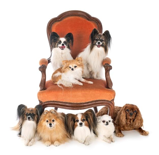 Piccoli cani sulla sedia davanti al bianco