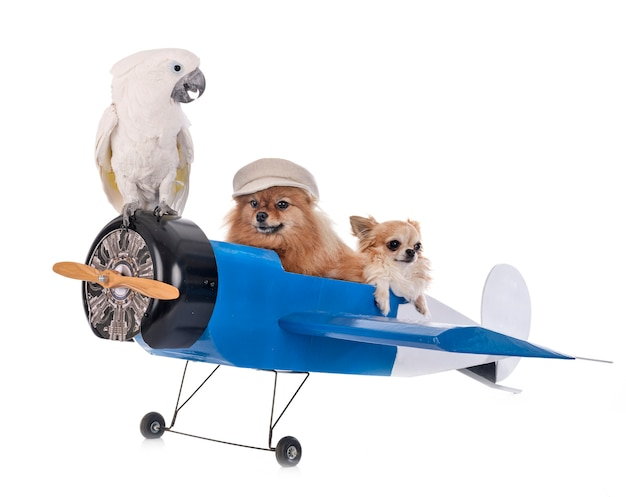 Cacatua ed aereo dei piccoli cani isolati